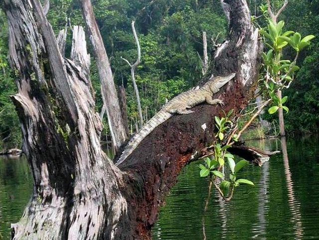 Крокодил греется забравшись на старое дерево
