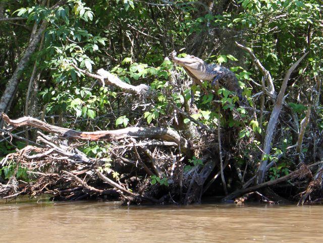 Крокодил забрался на прибрежные поросли