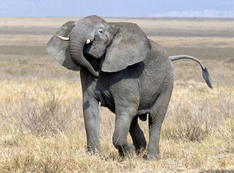 Африканский слон Loxodonta