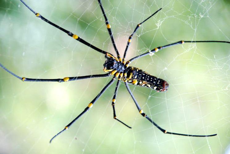 Nephila банановый паук один из самых опасных паукообразных