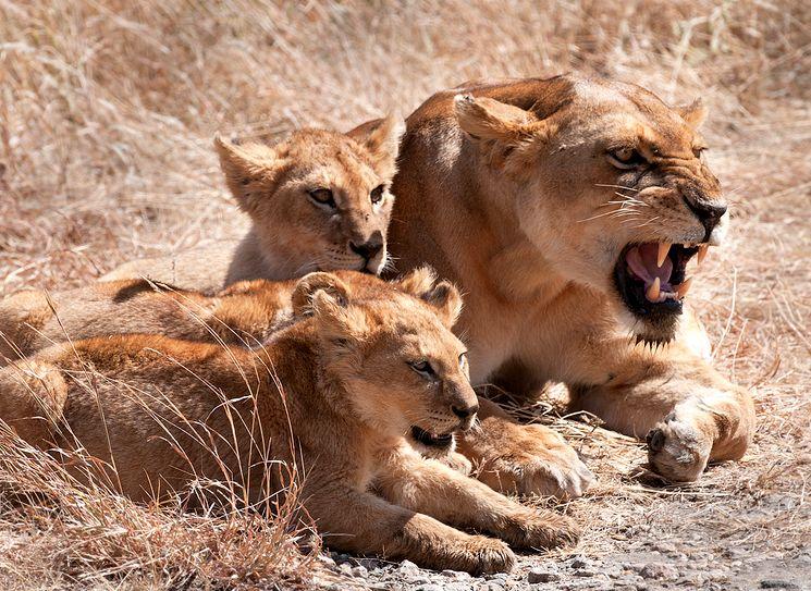 Львы - Panthera leo