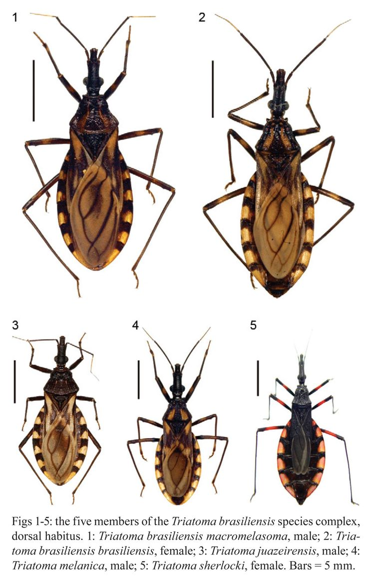 Целующийся жук Triatominae - опасен для человека