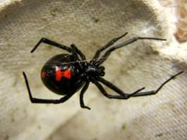 Чёрная вдова (Latrodectus mactans)