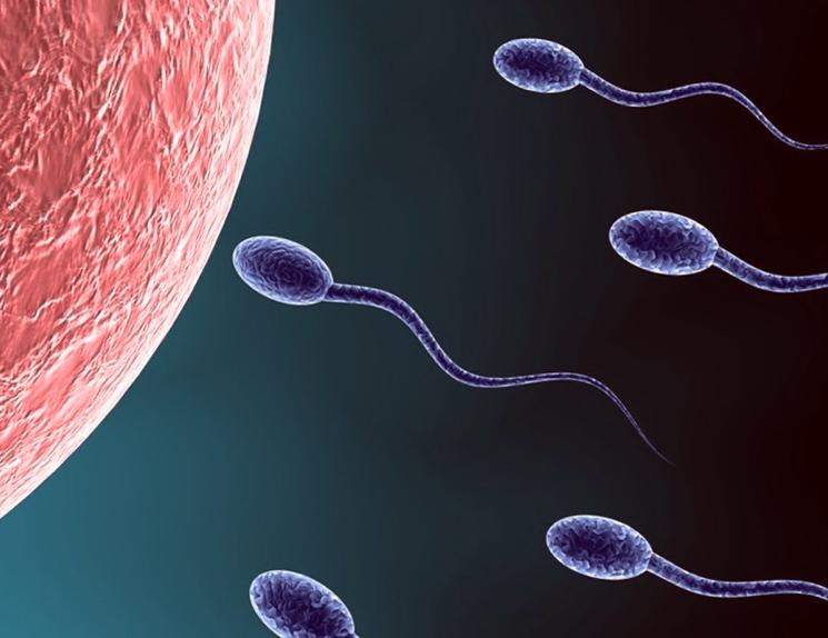 Доходят ли сперматазоиды до яйцеклетки
