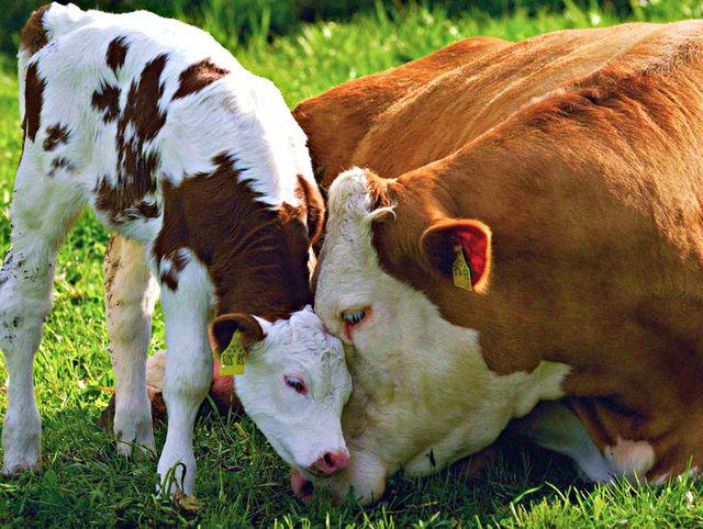 Корова с телёнком на выпасе