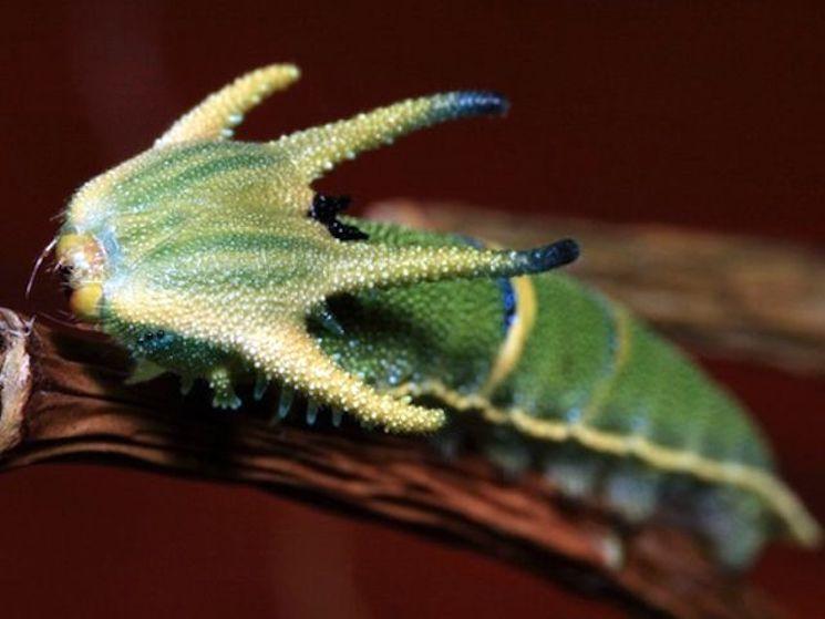Гусеница императорской бабочки