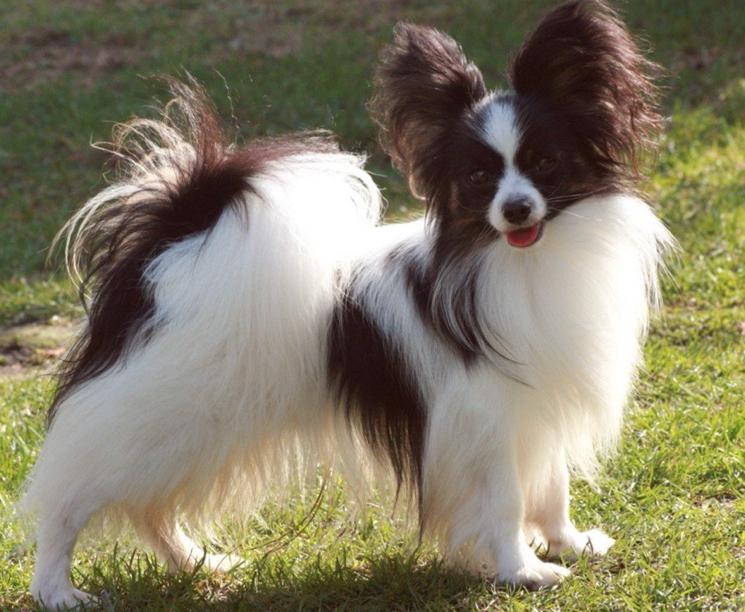 Порода собак континентальный той-спаниель