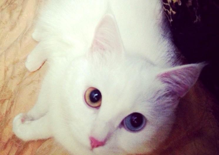 Кошка альбинос фото
