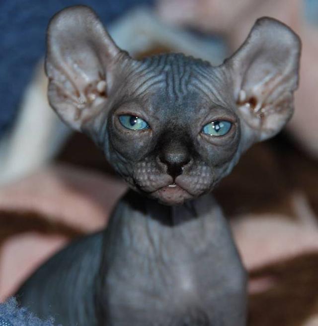 Редкая порода кошек Эльф