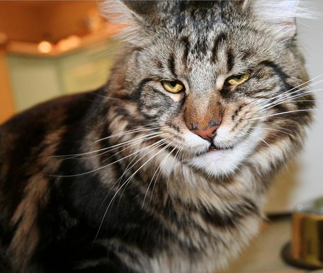 Редкая порода кошек Мейн-кун