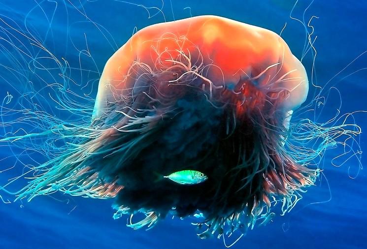Волосистая Цианея - самая большая медуза в океане
