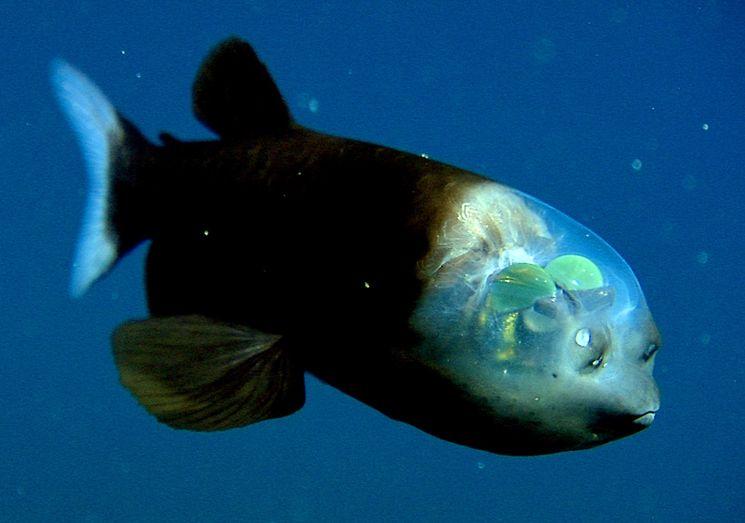 Рыба с прозрачной головой - Малоротая макропинна