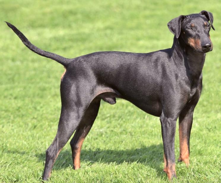 Порода собак Манчестер-терьер