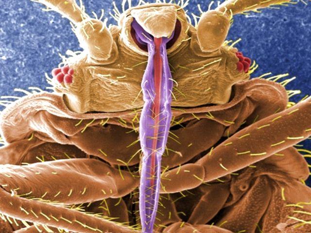 Cimex lectularius - постельный клоп
