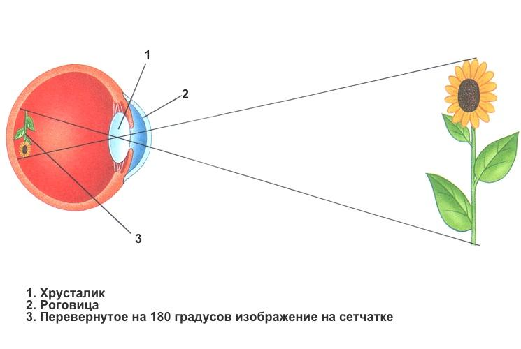 Перевернутое изображение на сетчатке глаза