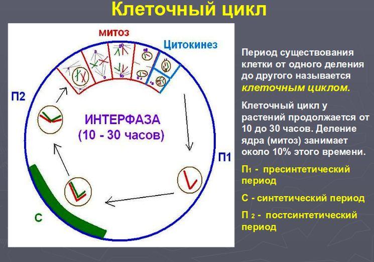 Периоды клеточного цикла и принцип деления клетки