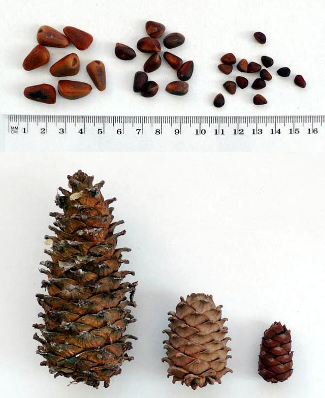 Сравнение кедровых оредов сибирский и корейские кедровые сосны