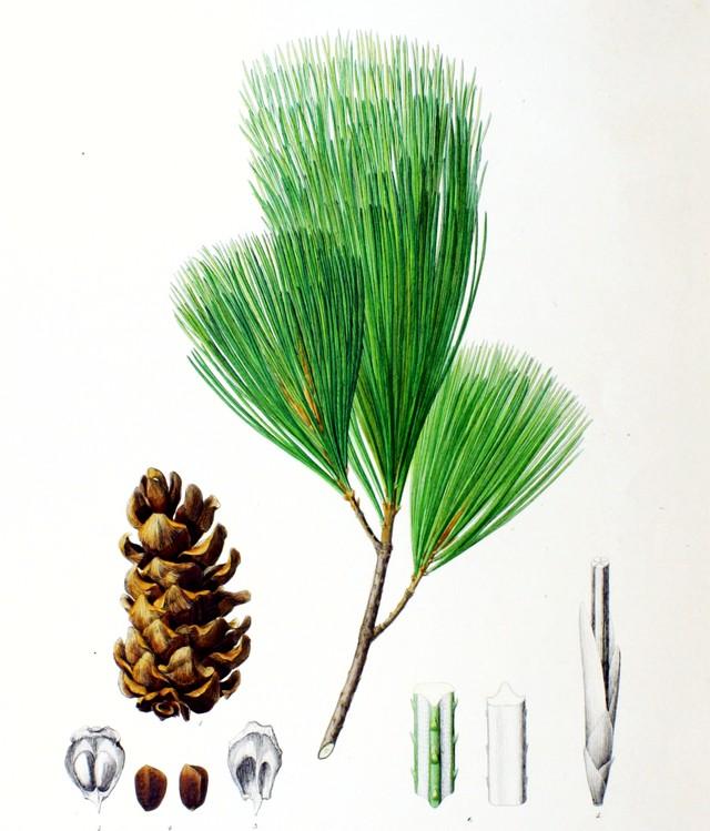 Ветка и орехи корейской кедровой сосны