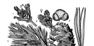 Ветка и орехи сибирской кедровой сосны