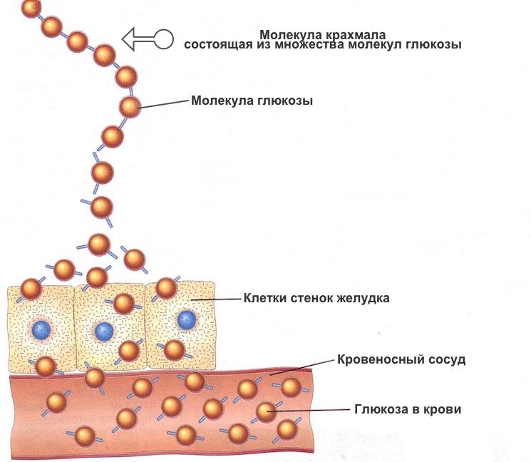 Процесс проникновения молекул крахмала в кровь