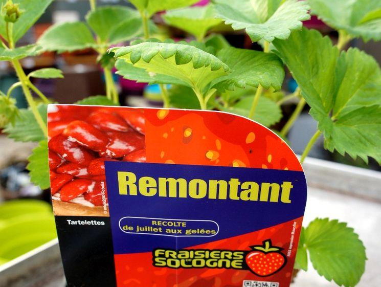 Ремонтантные растения