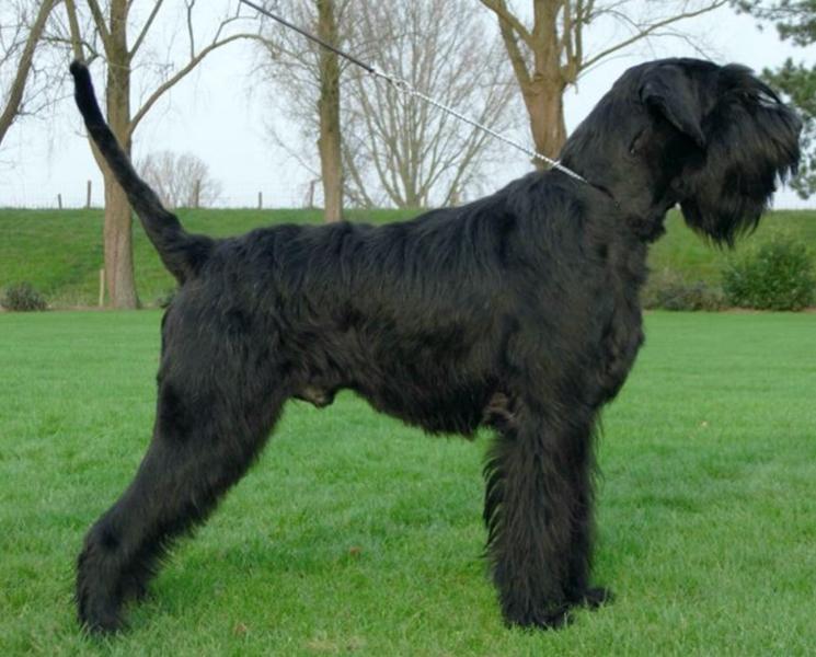 Собака породы Ризеншнауцер