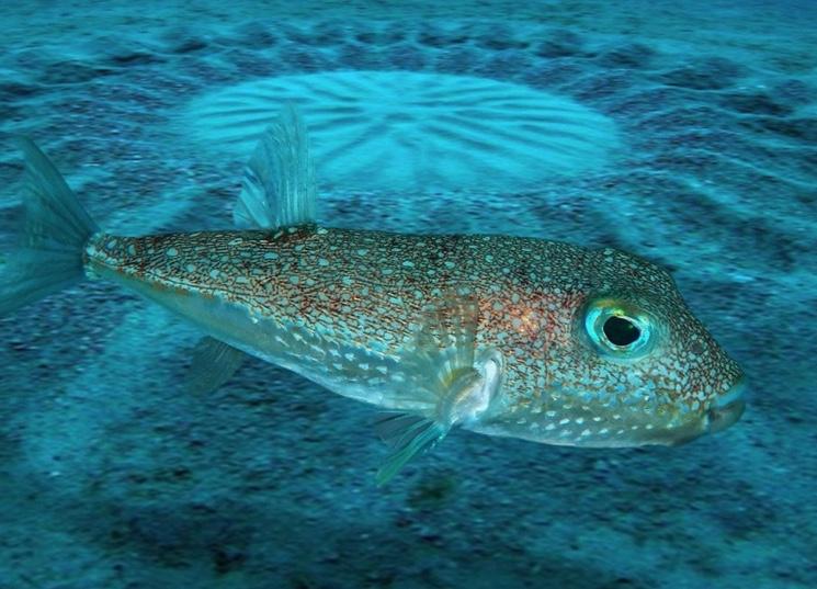 Рыба-архитектор бело-пятнистый иглобрюх