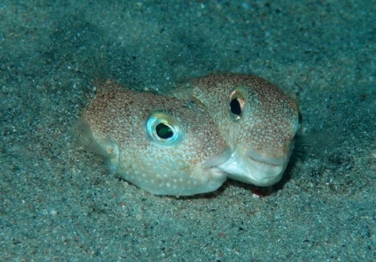 Самец рыба архитектор ухаживает за самкой