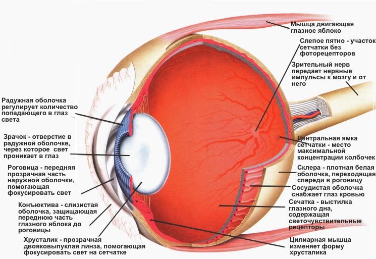 Схема из чего состоит челоческий глаз