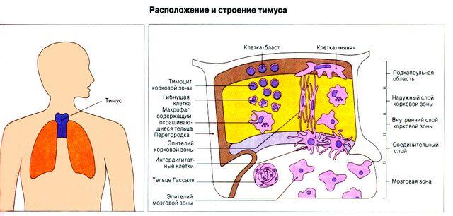 Расположение и строение тимуса у человека