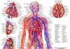 Диагностика кровеносной системы человека