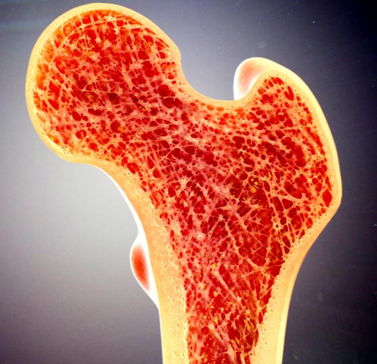 Человеческая кость в разрезе