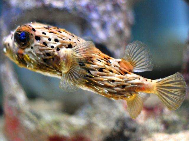 Ядовитый скалозуб или рыба-собака