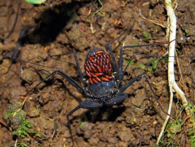 Жгутоногий паук Фрина